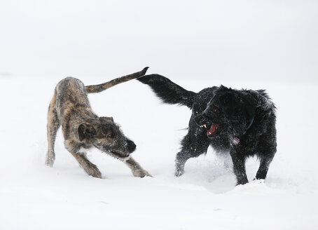 Irish Wolfhound puppy and black mongrel  playing together on snow-covered meadow - SLF000356