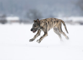 Irish Wolfhound puppy on snow-covered meadow - SLF000360