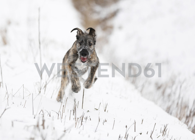 Irish Wolfhound puppy on snow-covered meadow - SLF000364