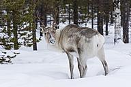 Scandinavia, Finland, Inari, Reindeer, Rangifer tarandus - SR000509