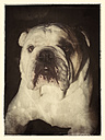 English Bulldog - CS021245