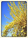 Yellow forsythia (Forsythia), Spring, Germany - CSF021241