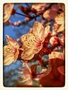 Blood plum, flowering tree (Prunus cerasifera 'Nigra'), Spring, Germany - CSF021238