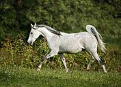 Germany, Baden-Wuerttemberg, Arabian horse, Equus ferus caballus, trots - SLF000395