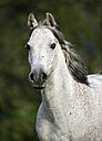 Germany, Baden-Wuerttemberg, Arabian horse, Equus ferus caballus - SLF000399