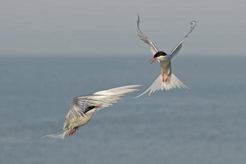 Germany, Schleswig-Holstein, Terns, sternidae - HACF000002