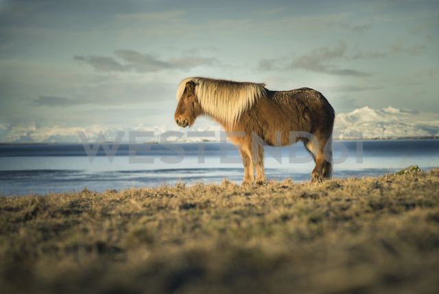Iceland, Iceland horse in front of Vatnajokull mountains - STCF000032
