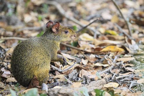 South America, Brasilia, Mato Grosso do Sul, Pantanal, Central American agouti, Dasyprocta punctata - FOF006515