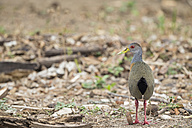 South America, Brasilia, Mato Grosso do Sul, Pantanal, Grey-necked Wood Rail, Aramides cajaneus - FOF006540