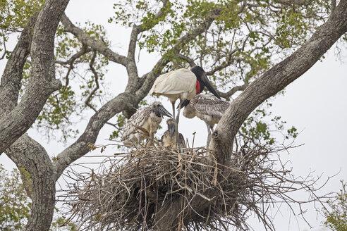 South America, Brasilia, Mato Grosso do Sul, Pantanal, Jabiru, Jabiru mycteria, nest, stork and young animals - FOF006552