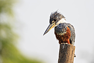 South America, Brasilia, Mato Grosso do Sul, Pantanal, Ringed Kingfisher, Megaceryle torquata - FOF006566