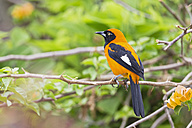 South America, Brasilia, Mato Grosso do Sul, Pantanal, Orange-backed Troupial, Icterus croconotus - FOF006572