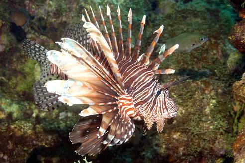 Caribbean, Antilles, Curacao, Westpunt, Rotfeuerfisch, Pterois volitans - YRF000043