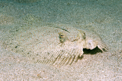 Caribbean, Antilles, Curacao, Westpunt, Peacock Flounder, Bothus lunatus - YRF000032