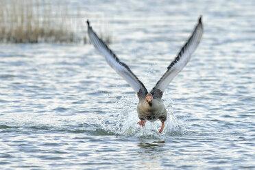 Germany, Schleswig-Holstein, Grey goose, Anser anser, flying - HACF000022