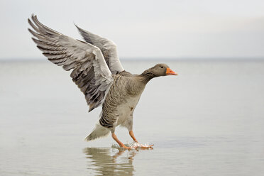 Germany, Schleswig-Holstein, Grey goose, Anser anser, flying - HACF000016
