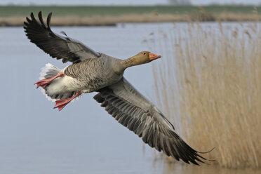 Germany, Schleswig-Holstein, Grey goose, Anser anser - HACF000013