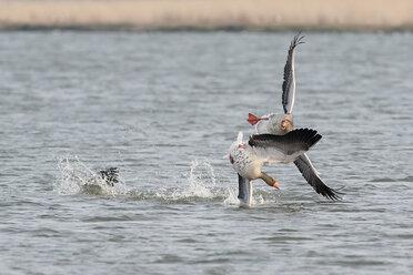 Germany, Schleswig-Holstein, Grey geese, Anser anser - HACF000009