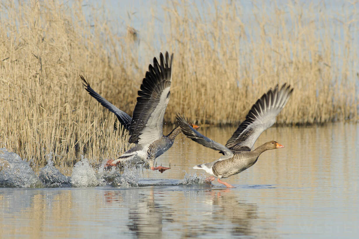 Germany, Schleswig-Holstein, Grey geese, Anser anser, flying - HACF000006 - Hans Clausen/Westend61