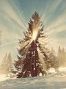 Germany, Bavaria, Sudelfeld, sun rays breaking through a spruce - BRF000241