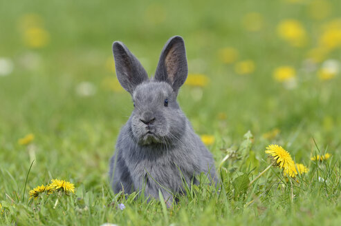 Grey baby rabbit sitting on flower meadow - RUEF001230