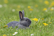 Grey baby rabbit lying on flower meadow - RUEF001229