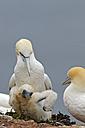 Germany, Schleswig-Holstein, Hegoland, northern gannets - HACF000032