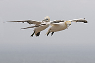 Germany, Schleswig-Holstein, Hegoland, flying northern gannet - HACF000027