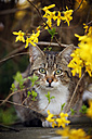 Portrait of tabby cat sitting under a bush - SLF000369