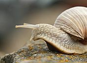 Edible snails on a stone - SLF000372