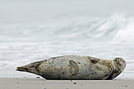 Germany, Schleswig-Holstein, Helgoland, Grey seal, Halichoerus grypus, lying at beach - HACF000040