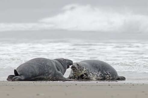 Germany, Schleswig-Holstein, Helgoland, Grey seals, Halichoerus grypus, lying at beach - HACF000043