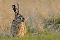 Germany, Schleswig-Holstein, Hare, Leporidae - HACF000041