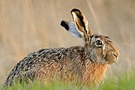 Germany, Schleswig-Holstein, Hare, Leporidae - HACF000039