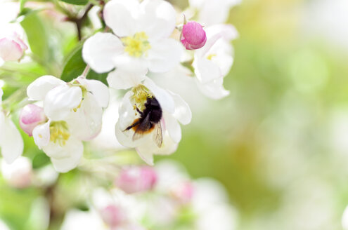 Bumblebee at white blossom of apple tree - CZF000151