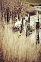 Germany, Hamburg, Breeding swan in spring - KRPF000440