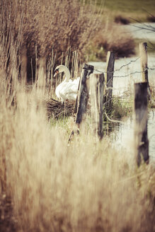 Germany, Hamburg, Breeding swan in spring - KRPF000440