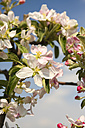 Germany, Hamburg, Area Altes Land, Apple blossoms, Malus domestica, in spring - KRPF000447