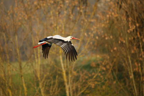 Germany, Baden-Wuerttemberg, Hohenlohe, White stork, Ciconia ciconia, flying - SLF000386