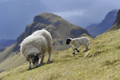 UK, Scotland, Sheep in landscape - FDF000018