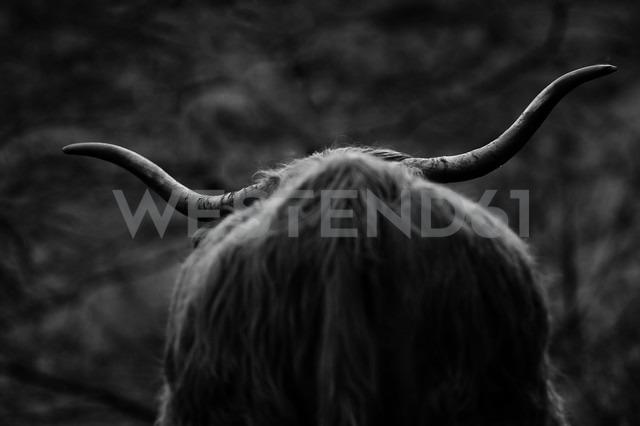 UK, Scotland, Highland cattle, rear view - FDF000026 - Kontrastlicht/Westend61