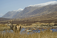 UK, Scotland, Deer in landscape - FDF000028
