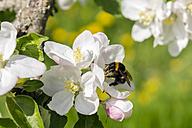 Germany, Hesse, Kronberg, Bumblebee at white blossom of apple tree - WEF000069