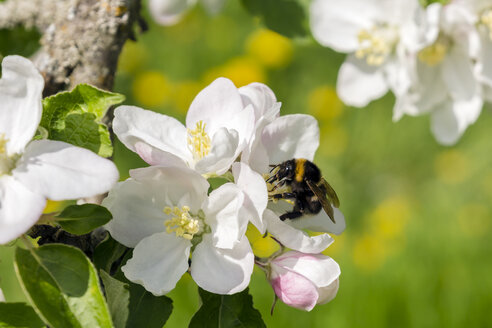 Germany, Hesse, Kronberg, Bumblebee at white blossom of apple tree - WEF000069