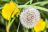 Germany, Hesse, Kronberg, Common dandelion, Taraxacum sect. Ruderalia - WEF000070