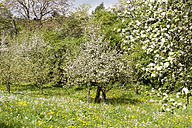 Germany, Hesse, Kronberg, Apple trees, Malus domestica, meadow with scattered fruit trees - WEF000071