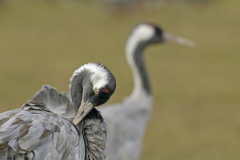 Germany, Mecklenburg-Western Pomerania, Common crane, Grus grus, preening - HACF000054