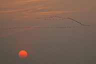 Germany, Mecklenburg-Western Pomerania, Common cranes, Grus grus, at sunrise - HACF000056