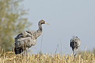 Germany, Mecklenburg-Western Pomerania, Common cranes, Grus grus, young animal - HACF000064