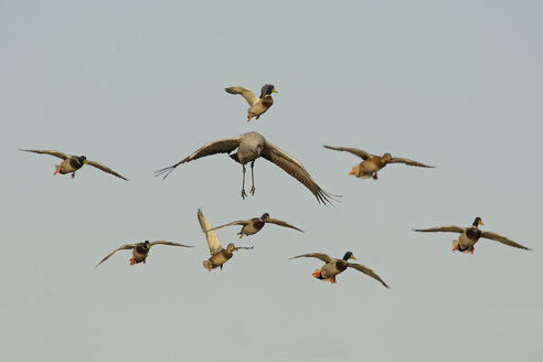 Germany, Mecklenburg-Western Pomerania, Common crane, Grus grus, and mallard, Anas platyrhynchos, flying - HACF000068